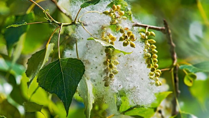 Blatt und Blütenstände der Schwarzpappel mit  Samen- und Fruchtwandfasern  - Foto: Pixabay