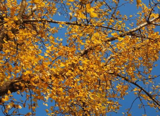 Herbstaspekt der Schwarz-Pappel