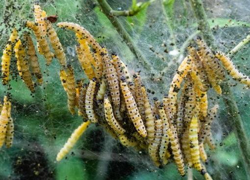 Raupen der Traubenkirschen-Gespinstmotte